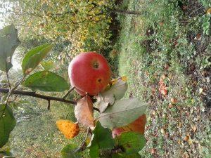 Pčelinjak u voćnjaku, jabuke Ajdared