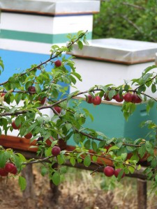 Pčelinjak u voćnjaku, krupnoplodne Krimskaje crvene dženarike